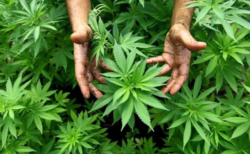 La ONU eliminó al cannabis de la categoría de drogas más peligrosas: qué implicancias tiene la decisión