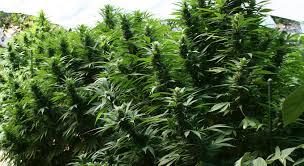 Santa Fe producirá aceite de cannabis medicinal en una planta estatal