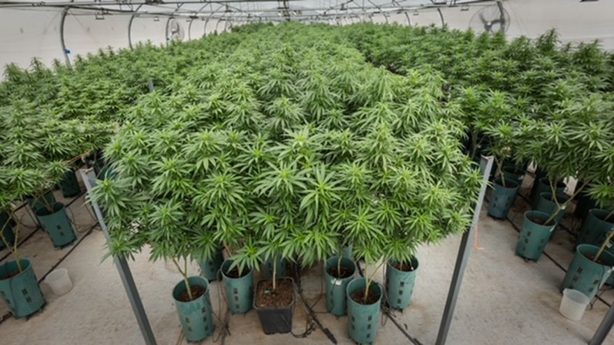 Hecho en Jujuy: en septiembre, la Argentina tendrá su primer aceite de cannabis de producción 100% nacional