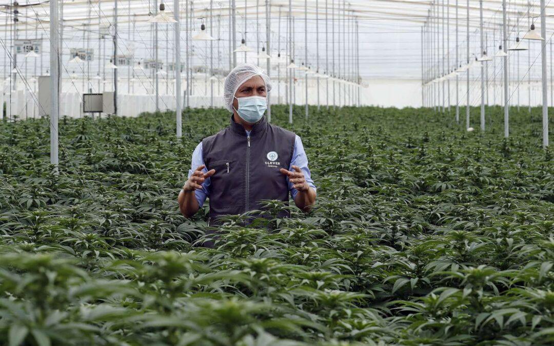 Comienzan en Argentina estudios sobre el uso de cannabis en dolores asociados al cáncer
